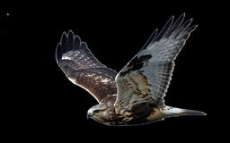 Hawk, Flight, Raptor, Bird Of Prey Royalty Free Stock Photography