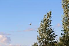 Hawk in flight Royalty Free Stock Photos