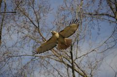 Hawk Flying Royalty Free Stock Images
