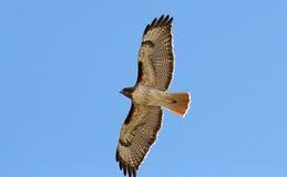 Hawk Flying Above Blue Sky atado vermelho Imagens de Stock Royalty Free