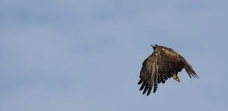 Hawk Flying atado vermelho Imagens de Stock Royalty Free