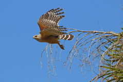 Hawk flying from branch. Hawk flying from a branch against a clear blue sky Royalty Free Stock Images