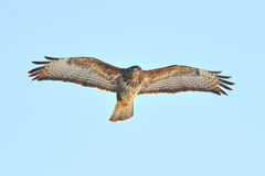 Hawk flying (buteo lagopus) Royalty Free Stock Photography