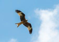 Hawk flying Stock Photos