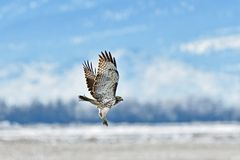 A Hawk flying High under the sky. A Hawk Flying over while keeping an eye at prey at  Lower Klamath Fall, CA Royalty Free Stock Photo