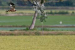 Hawk while flying and hunting Royalty Free Stock Image