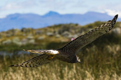 A Hawk flying with its wings wide Stock Images