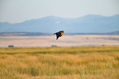 Hawk Flying Low over Lager Meer royalty-vrije stock foto