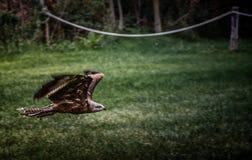 Hawk flying. Monasterio de piedra in Spain Royalty Free Stock Photo