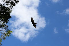 A hawk flying over. Hungry  hawk  above Royalty Free Stock Photo