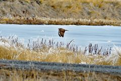 A Hawk on the flight. A Hawk Flying over the river at  Lower Klamath Fall, CA Stock Image