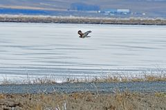 A Hawk flying over the river. At  Lower Klamath Fall, CA Stock Photos