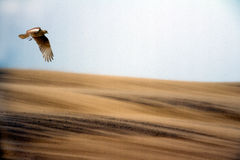 Hawk flying over sand. Against blue skies Stock Image