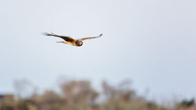 Hawk Flying Over Trees Royalty Free Stock Photos