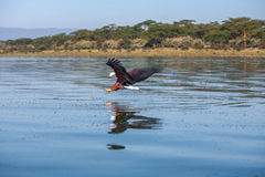 Hawk flying over the water stock images