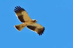 Hawk flying (pandion haliaetus) Royalty Free Stock Images