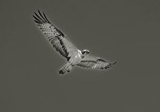 Hawk flying in sky Royalty Free Stock Photo
