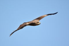 Hawk flying. In the sky Stock Images