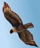 A hawk Royalty Free Stock Photos