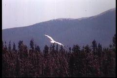 Hawk flying in slow motion stock video