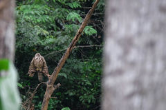 Hawk in the forest Royalty Free Stock Photo