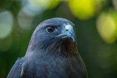 Hawk Front di Swainson Fotografie Stock