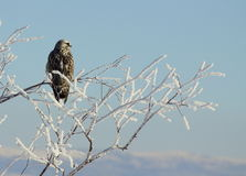 Hawk in a Frozen Tree Stock Photo
