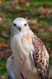 Hawk Full Facial View Rosso-munito Immagine Stock