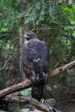 Hawk Gazing on a Branch Royalty Free Stock Photo