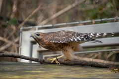 Hawk about to take off into flight stock images