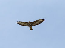 Hawk gliding on blue sky background Royalty Free Stock Photography