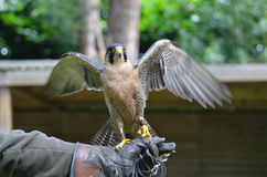 Hawk on glove with wings spread Royalty Free Stock Images