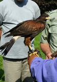 Hawk on gloved hand Stock Images