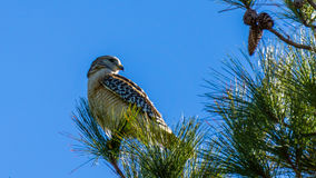 Red-Tailed Hawk Perched in a Tree Stock Photo