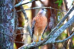 Hawk guardare fisso nei cieli Fotografia Stock