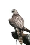 Hawk in the hand. Falcon sits on the leather glove Stock Photo