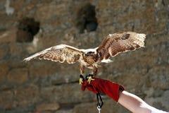Hawk on the hand Stock Photo