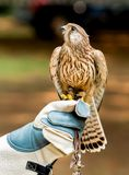 Hawk on handlers hand and looking up Royalty Free Stock Photos