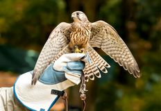 Hawk on handlers hand with open wings Stock Images