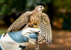 Hawk on handlers hand with open wings Stock Photos