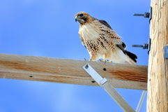 Hawk hanging out on the telephone pole looking for lunch Royalty Free Stock Photo
