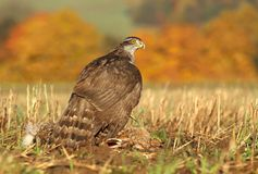Hawk with hare Royalty Free Stock Images