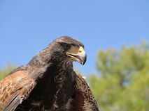 Hawk Harris stock photography