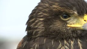 Hawk Head almacen de video