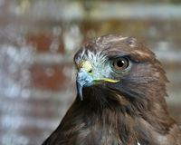 Hawk Head imagem de stock royalty free