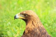 Hawk head Royalty Free Stock Photography