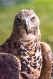Hawk watching the camera stock photo
