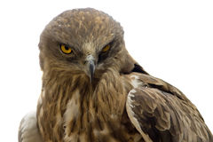 Hawk head close-up isolated Royalty Free Stock Photo