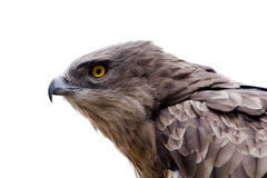 Hawk head close-up isolated Stock Photo