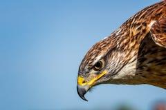 Hawk Head Portrait ferruginoso Fotografía de archivo libre de regalías